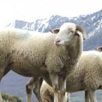 Des moutons qui comptent