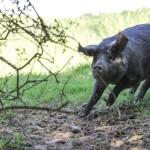 Ne ratez pas les porcs noirs de Bigorre!