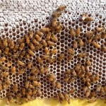 Bee colonies are collapsing, and so is honey production