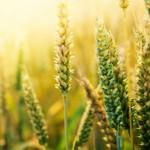 Importations d'OGM: Bruxelles propose une solution qui fâche tout le monde