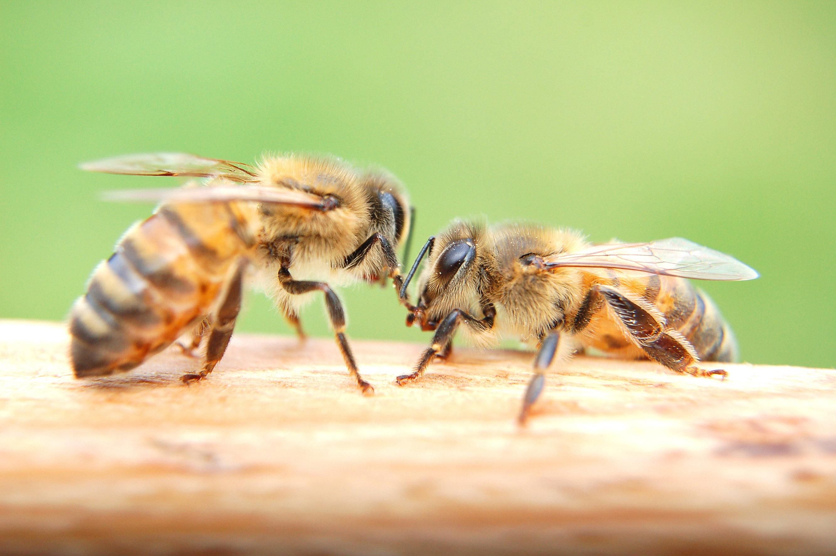 La maison blanche d voile un plan pour sauver les abeilles for Abeilles dans la maison