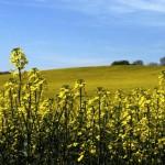 La production de biocarburants est-elle compatible avec la fonction nourricière de l'agriculture ?