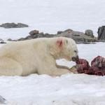 Les dauphins s'invitent au menu des ours polaires