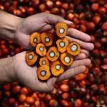 Pourquoi l'huile de palme fait-elle tant parler d'elle ?
