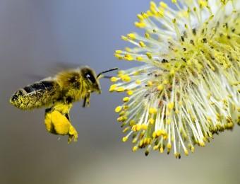 pollinisation-abeilles