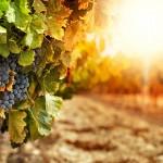 En 2050, les grands crus de Bordeaux et de Bourgogne vont disparaître