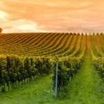 Agriculture and climate change: Will there be vineyards in Sweden in the future?