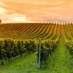 Agriculture et changement climatique : demain des vignes en Suède ?