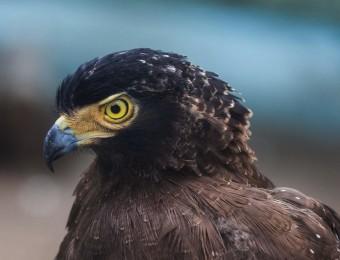 ob_dc75a9_guila-perdicera-aquila-fasciata-zoo