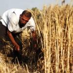 Le blé, l'autre pétrole de «Daech»