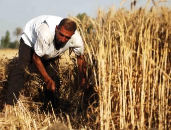 Wheat-Syria