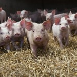 The pig breeding network in numbers