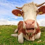 « Casser une vache au bout de deux ans, c'est dramatique »