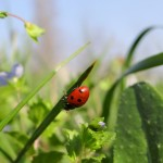 Biological control, a real alternative to pesticides?