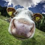 La ferme des 1 million de vaches!