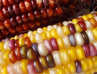 Maïs-indien
