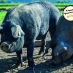 Porcs gascons et boudin béarnais