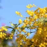 Fraises et mimosa à Noël : la nature en plein délire