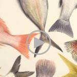 Le poisson sauvage est-il meilleur que le poisson d'élevage?