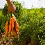 Le bio pourrait nourrir 9 milliards d'humains en 2050?
