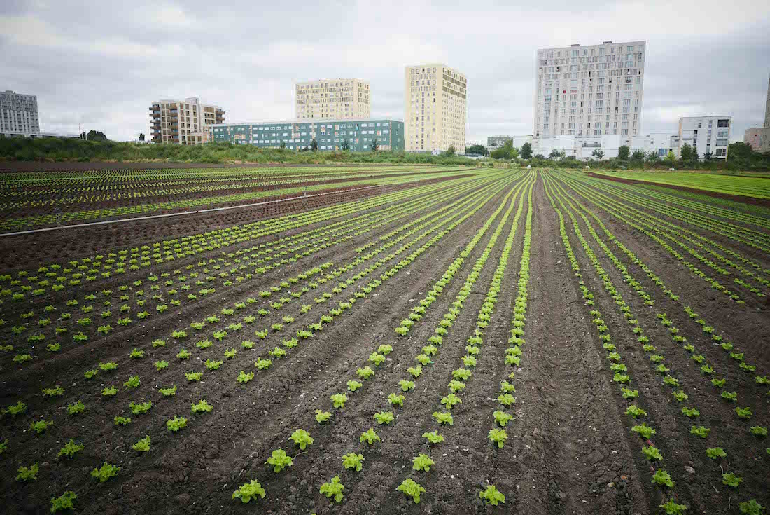 A Saint Denis, un champ de salade de René Kersanté