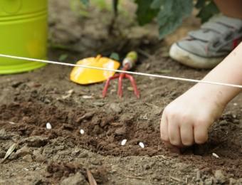 semis-graines-de-haricot-gnis-laurent-muratet