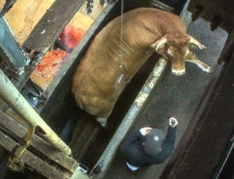Tentative de fuite d'un boeuf dans un abattoir filmé par L214