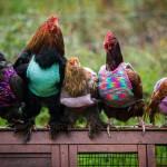 Poule house : enfin une maison de retraite pour les poules!