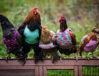 Poule House, maison de retraite pour les poules