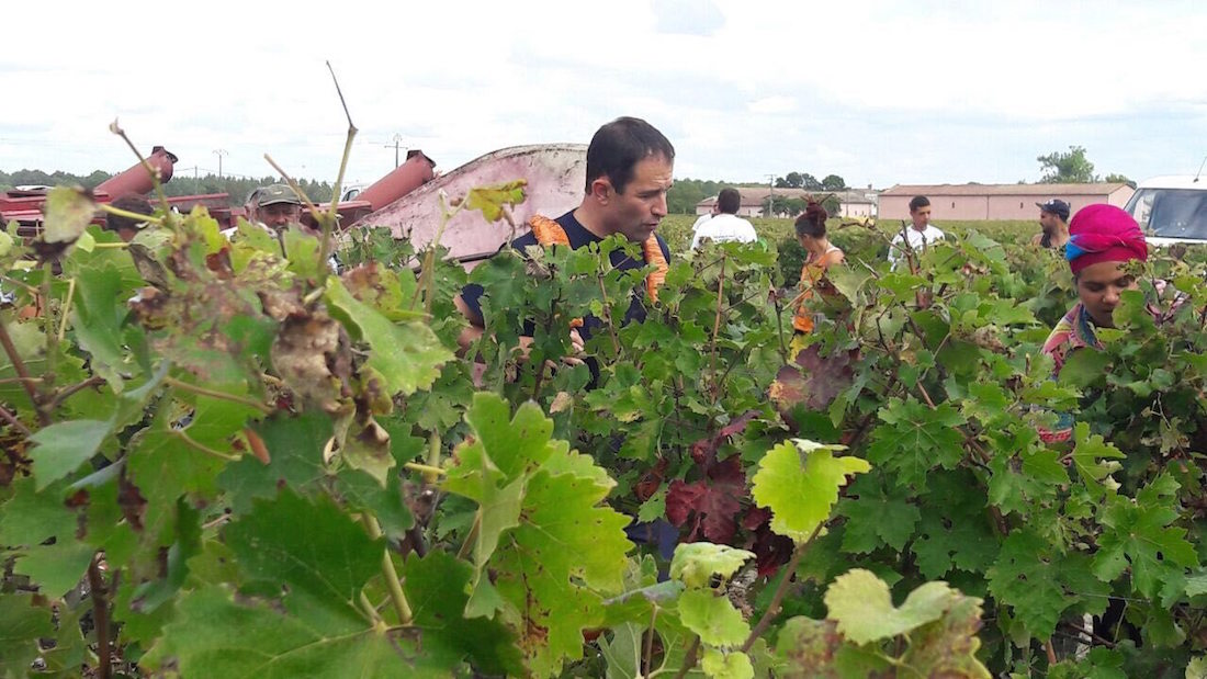 Benoît Hamon, vendanges à Bordeaux