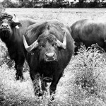 Buffalos from Campania or cows from Apulia: Italy's war of the mozzarellas