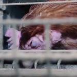 L214 dénonce un élevage de poules vendéen et interpelle Panzani