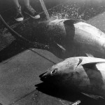 Why is bluefin tuna fishing still so regulated?