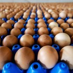 Fipronil-tainted eggs: Favorable investigation results for French breeders