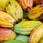 La filière chocolat cherche à définir le «cacao  durable»