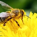 Néonicotinoïdes: une agence de l'UE confirme le risque pour les abeilles
